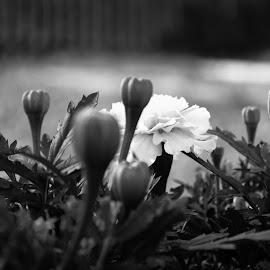 by Mihai Bancila - Flowers Flower Buds (  )