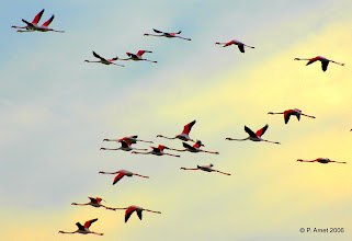 Photo: Des flamands en couleurs sur fond de coucher de soleil !!
