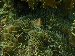 Photo: Amphipirion perideraion - Pink Skunk Clownfish  and Heteractis crispa - Sebae Anemone - Panglao Island, Philippines