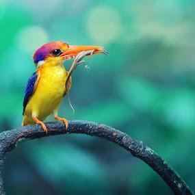kingfisher II by Sasi- Smit - Animals Birds