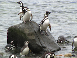 Photo: Isla Magdalena-Magellan- Pinguin