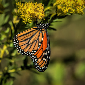 Upside Down by Roy Walter - Animals Insects & Spiders ( wild, butterfly, monarch, fall, insect )