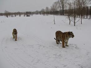 Photo: March 15 (Monday) visited Harbin Siberian Tiger Garden