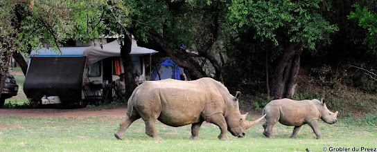 Photo: A White Rhine mother and calf walk through the Bontle Camping Site, Marakele National Park, South Africa.   The Marakele National Park is situated in the heart of the Waterberg Mountains in the Limpopo Province of South Africa.  We camped in the Bontle Camping Site, next to a waterhole frequented by Zebra, Bue Wildebeest, Impala, Kudu, Ostrich, Warthog, Giraffe and White Rhino.  As the camp site is not fenced, the Rhinos come into the camp to graze. The second evening, there were nine Rhinos in the camp, including a mother and calf. Although they are wild, they are obviously used to people and get to within five meter of people. When someone gets into their comfort zone, they make a hissing sound to warn you to stay away. One night while lying in the tent, I could hear them grazing (sounds like someone chewing a carrot) and stomping their feet on the ground. They must have been right against the tent as I am quite deaf.  We did not see any Elephant, Lion, Leopard or Buffalo.  The second night we had heavy rain and found that the top of the tent wasn't as waterproof as we hoped it to be, but that the bottom part was perfectly waterproof, damming the water! Luckily the tent was pitched on a slope, so the water dammed only in one corner of the tent. We woke up with 10cm/4 inches of water in one corner of the tent. Thanks to the air mattress, we did not get wet, but not so for our clothes and personal belongings... Luckily there was no damage to cameras and electronic equipment.
