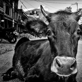 by Ahmed Wahdan - Animals Other Mammals ( black and white, animal )