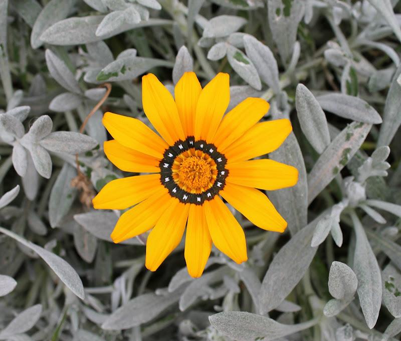 piccolo fiore giallo di fiorella_simonicca