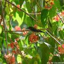 Aethopyga christinae (female) 叉尾太陽鳥(雌)