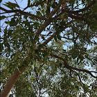 Eucalyptus, Flowering Gum