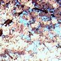 Cherry Bloosom