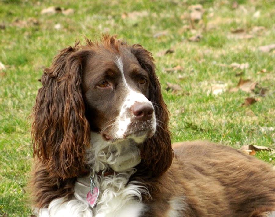 Listening  by Darcie Wright - Animals - Dogs Portraits ( springer spaniel dog brown white )