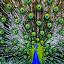 Royalty by Jorge Villalba - Animals Birds ( bird, blue, beautiful, feathers, peacock, gree )
