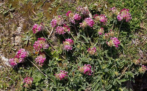 Anthyllis vulneraria subsp. iberica