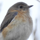 Eastern Bluebird, Female
