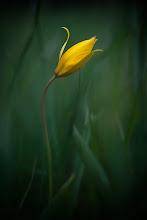 Photo: Tulipa sylvestris