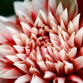 The pink beauty by Niranjan Rajendran - Nature Up Close Flowers - 2011-2013 ( macro, nature, pink, beauty, flower,  )