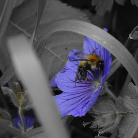 bee on blue flower by Arif Burhan - Animals Insects & Spiders ( blue, bee, yellow, partial-colour, flower )