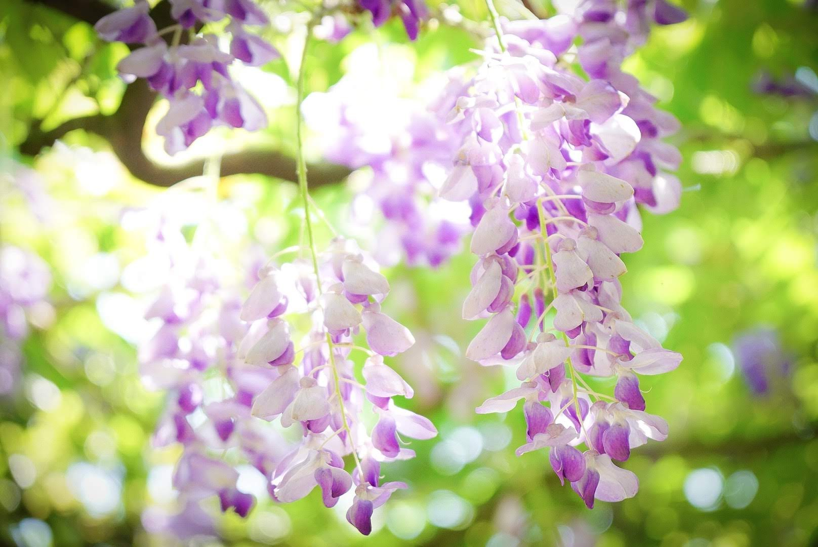 【旅遊】淡水 紫藤花咖啡園 (二店)走訪紫色夢幻隧道