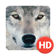 Wolf Wallpapers Hd 1 1 Android Apk Free Download