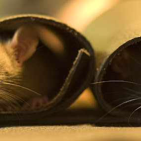 Rat Pack by Daggi Meyer - Animals Other ( #GARYFONGPETS, #SHOWUSYOURPETS )