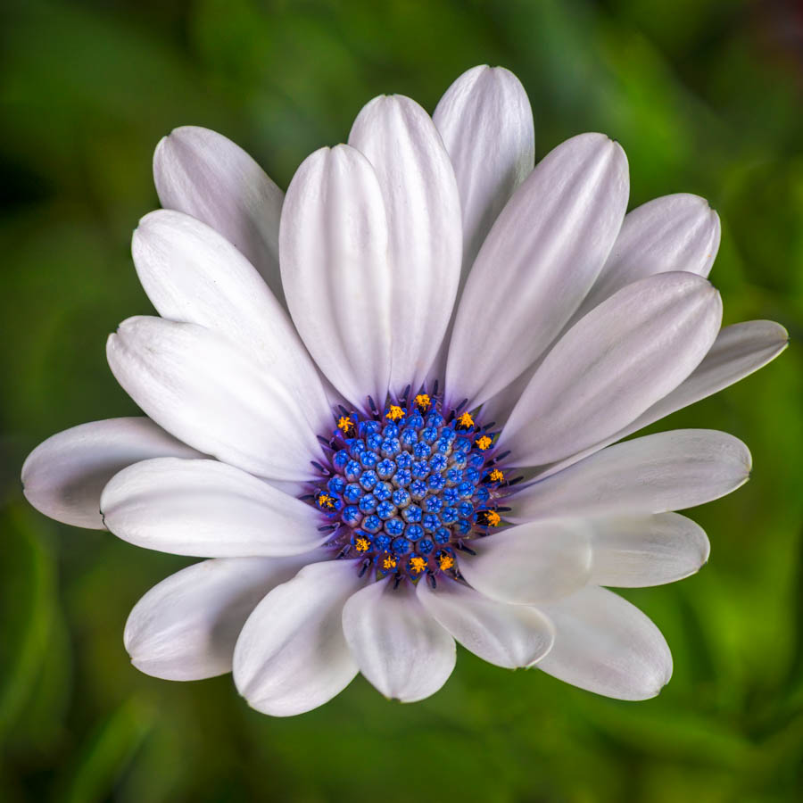 Life in Color by Linda Richardson - Flowers Single Flower ( macro, focus stacking, white, african daisy, flower, puprple )