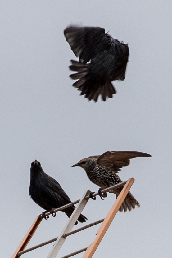 Starling; Estornino Pinto