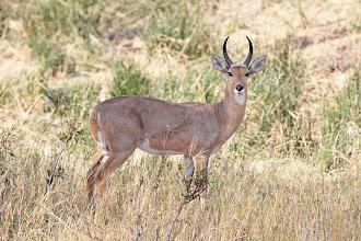 Photo: Common Reedbuck