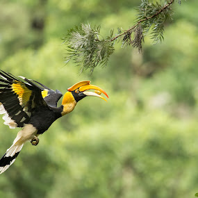 Great Indian Hornbill in Flight by Angad Achappa - Animals Birds ( nature, action, wildlife, bird photography, birds in flight )