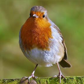 Mr Robin by Scott Williams-Collier - Animals Birds