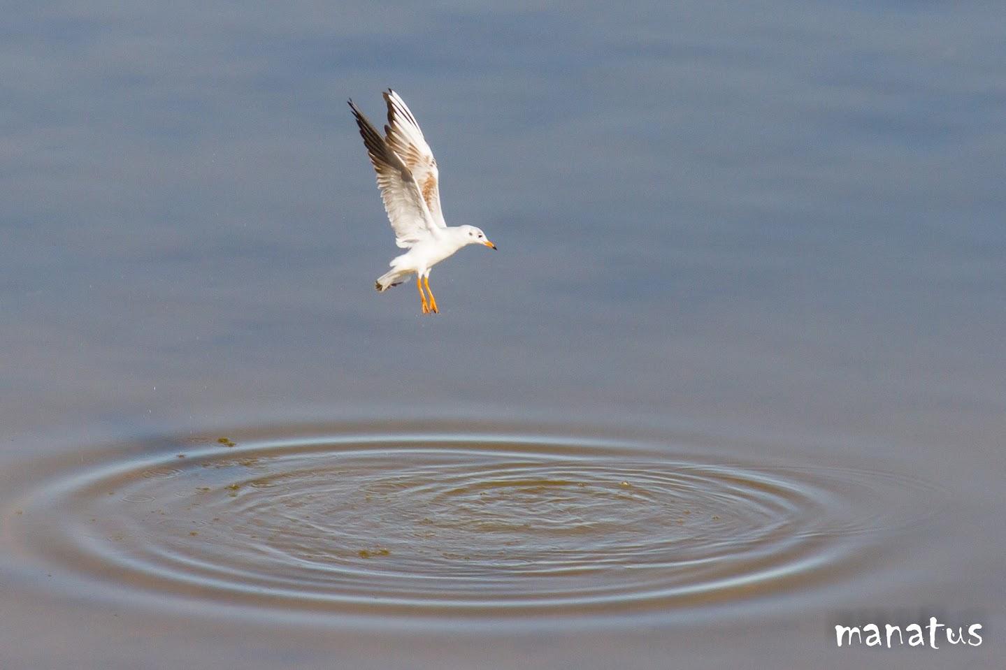 manatus gaviota sobre el agua