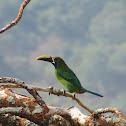 Tucancillo Esmeralda (Emerald toucanet)