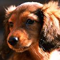dachshund puppy wallpaper icon