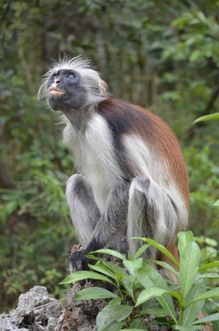Scimmia Rossa di ago65