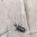 Longhorn beetle /Черный пихтовый усач