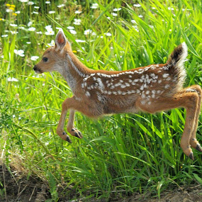 Blacktail Fawn by Steve Kane - Animals Other