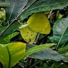One-spot grass yellow