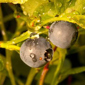 Blueberries by Morten Gustavsen - Nature Up Close Other plants ( macro, summer, raindrop, blueberries )