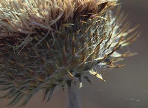 Photo: Thistle Flower Head Detail