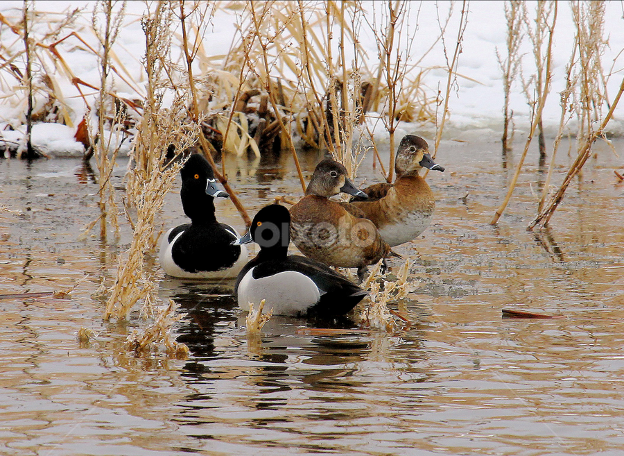 Ring-necked Ducks ! by Jan Siemucha - Animals Birds ( water, female ducks, snow, ducks, reflections, weeds, river bank, yellow eyes, feathers, springtime, male ducks )