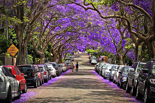 A jacaranda avenue in the Sydney suburb of Kirribilli.
