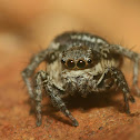 Stenaelurillus Jumping Spider