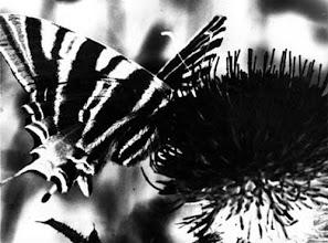 """Photo: Le """"flambé"""" sur centaurée - 1974 -  Solarisation : Procédé photographique de laboratoire """"noir et blanc"""". Elle permet ici d'accentuer les dessins des ailes. Labo personnel."""