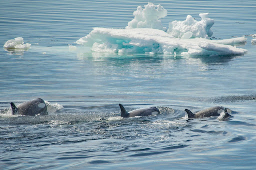 Watch orcas from the deck of a Ponant luxury expedition cruise from Argentina to Antarctica.
