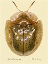 Photo: Charidotella incorrupta, 5,3mm, Costa Rica, La Cruz (11°07´/-83°36´), leg. Erwin Holzer, det. Lech Borowiec