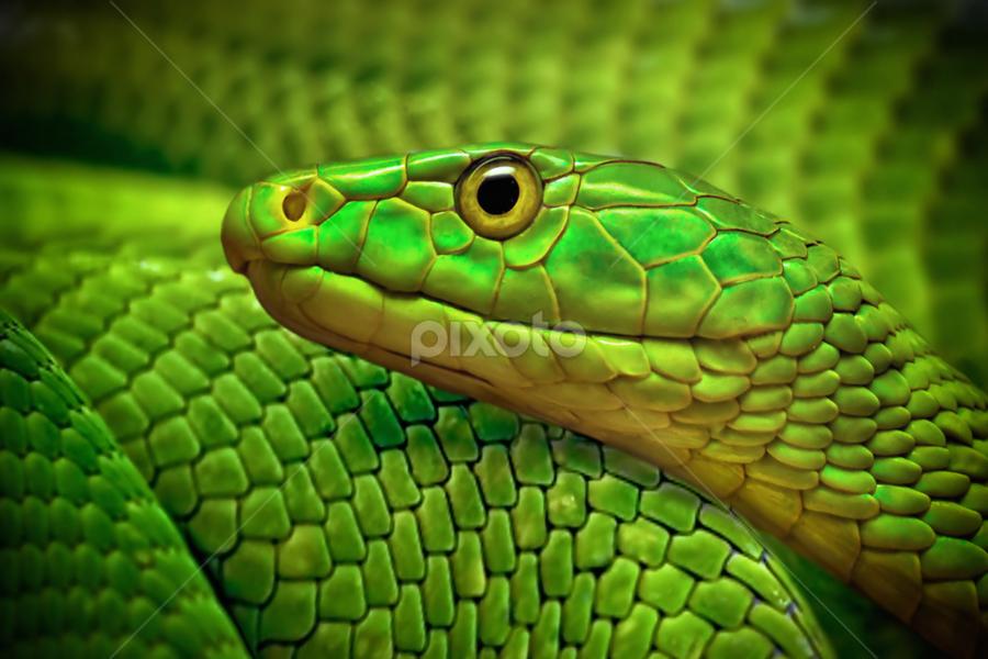 Green by Michael Milfeit - Animals Reptiles ( snake, dendroaspis viridis, nebulas, grüne mamba, giftnatter, giftschlange, , color, colors, landscape, portrait, object, filter forge )