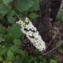 Common Chokeberry