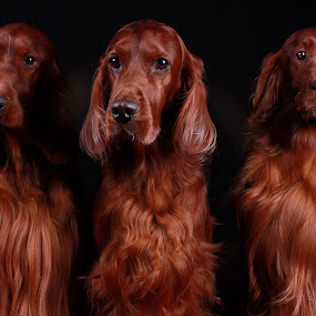 My Three Kings by Ken Jarvis - Animals - Dogs Portraits ( irish setter, setter, dog portraits, irish, cute dog )