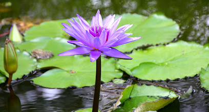 Photo: Year 2 Day 109 - Water Lily #3
