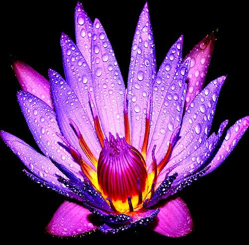 lotus 5 by Hafiz Ursa - Nature Up Close Gardens & Produce ( water drops, waterdrops lotus, single lotus, purple lotus, d3100, 50mm, yellow, solid background, black background, red, single flower, nikon, blue lotus )