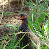 Red necked spurfowl