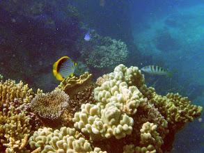 Photo: Chaetodon melannotus (Blackback Butterflyfish), Naigani Island, Fiji
